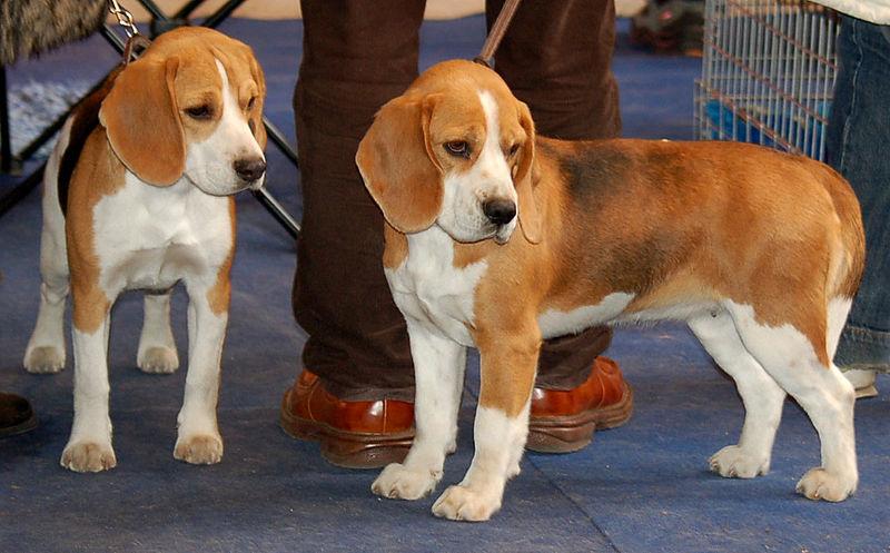 - Beagle adulte ...